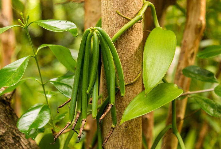 Farmers in South Pacific Bet on Beans for Loan Collateral